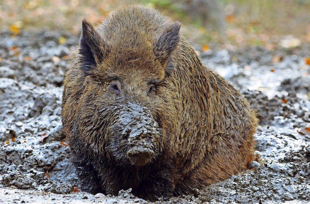 Die Zahl der Wildschweine ist zurückgegangen.Die Jäger wollen sie dennoch jagen. Foto: dpa