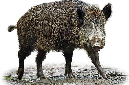 Das überfahrene  Wildschwein muss in die Nachbarstadt