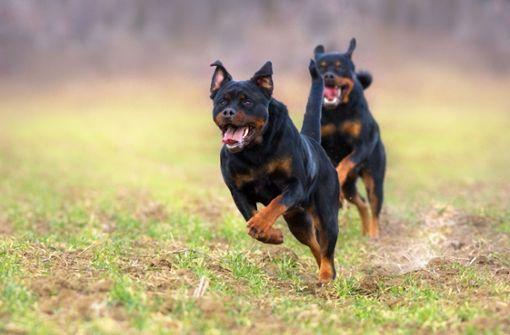 Rottweiler attackieren Herrchen brutal