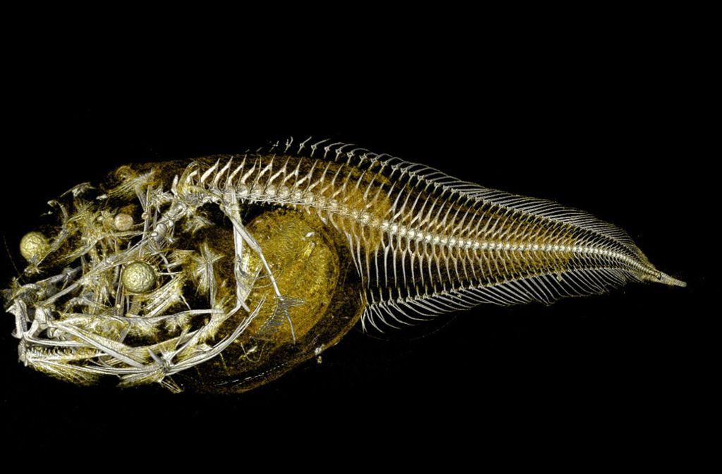 In einer der tiefsten Regionen des Pazifik haben Forscher drei bislang unbekannte Arten von Tiefseefischen entdeckt. Foto: Trustees of the Natural History