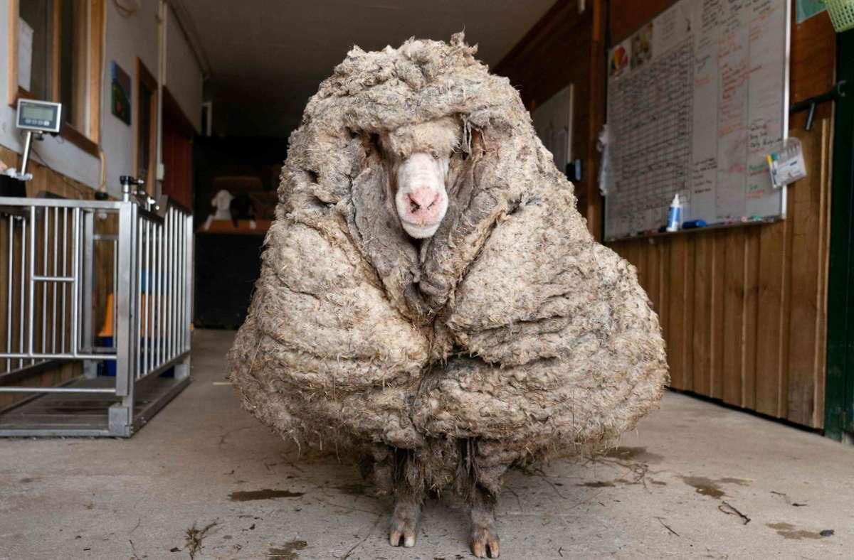 In grob fünf Jahren in der Wildnis hat das Schaf Baraack eine imposante Frisur angehäuft. Foto: AFP/HANDOUT