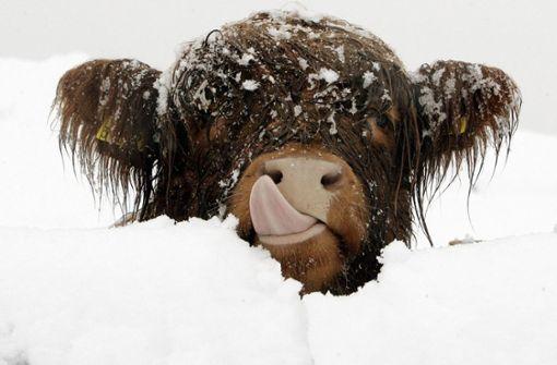 Entlaufene Kuh trotzt dem Winterwetter
