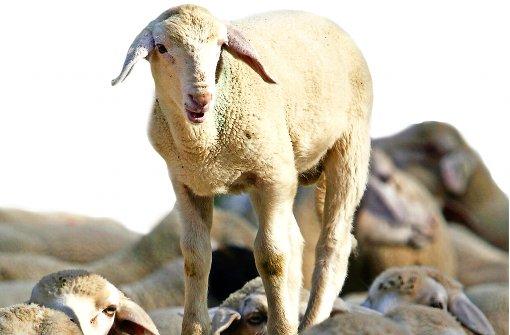 Wildblumen und Schafe in der Murrmetropole?