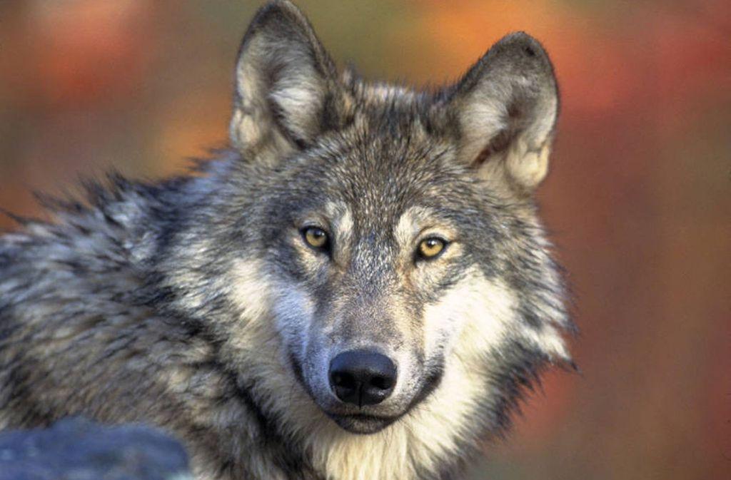 Englische Touristin von Wölfen getötet
