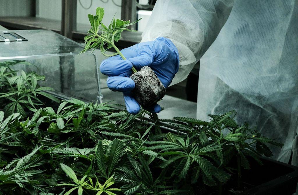 Ende 2020 soll in Deutschland erstmals Cannabis für medizinische Zwecke geerntet werden. (Symbolbild) Foto: ZUMA Wire