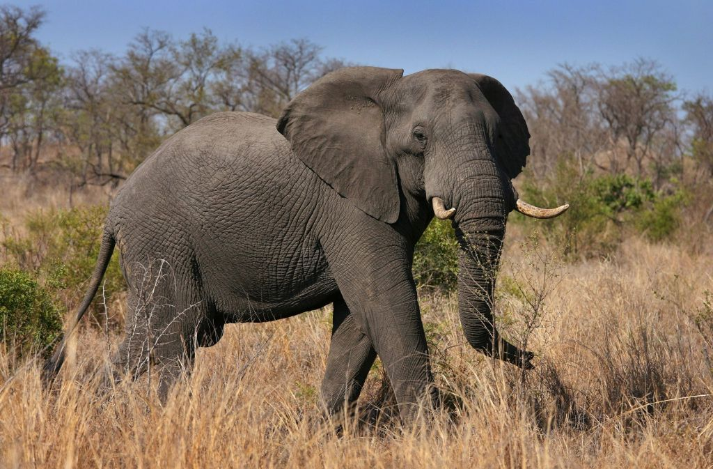 Der Elefant entdeckte die Gruppe Jäger und trampelte einen Schützen tot (Symbolbild). Foto: dpa