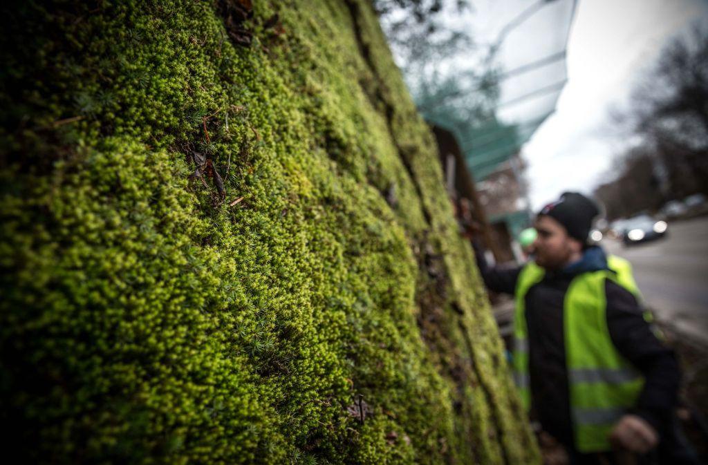 Die Mooswand an der Cannstatter Straße wird wieder begrünt. Foto: Lichtgut/Leif Piechowski