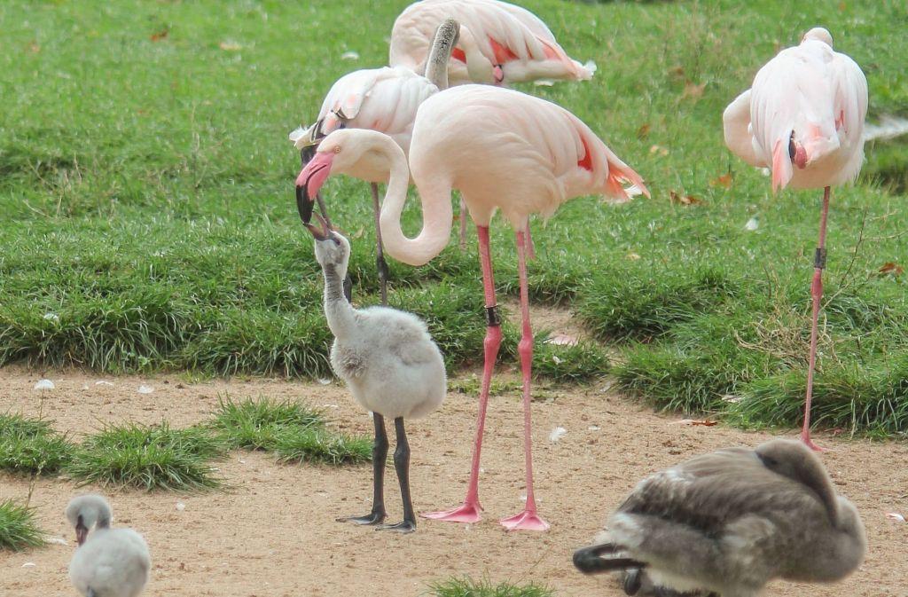 Peta kritisiert die Flamingohaltung der Wilhelma und erstattet Strafanzeige. Foto: Wilhelma