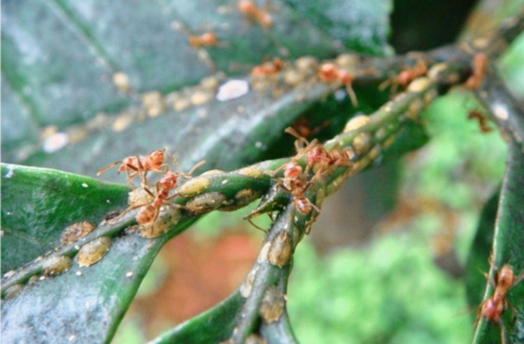Die Ameisen wachen eifersüchtig über ihre Schildläuse. Foto: Perfecto