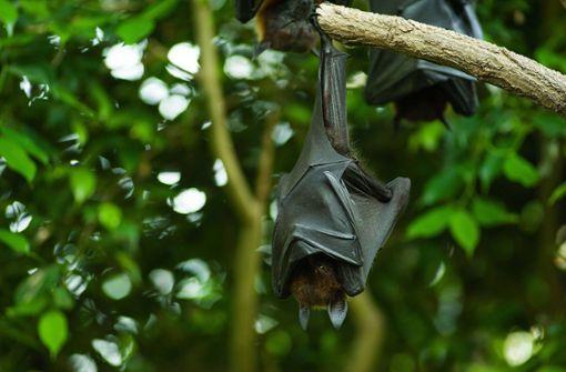Mysteriöse XXL-Fledermaus kursiert im Netz