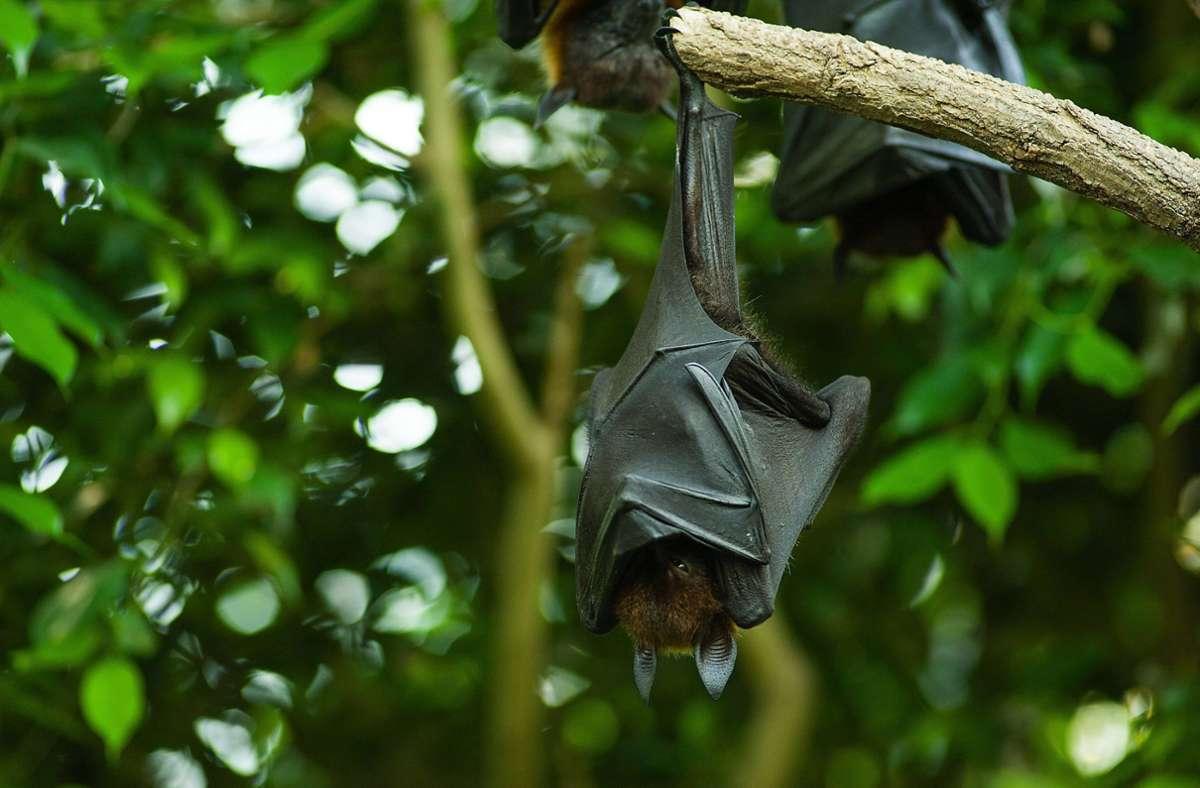 Was hat es mit der Riesen-Fledermaus auf dem Twitter-Foto auf sich? Foto: imago/Kickner/imago stock&people