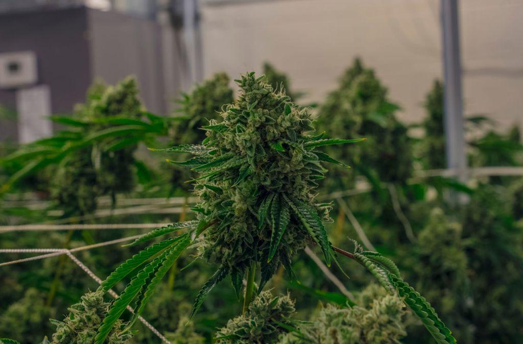 Bei mutmaßlichen Dealern in Zuffenhausen wurde eine Aufzuchtanlage für Cannabis entdeckt. (Symbolbild) Foto: Shutterstock/Daniel Mendora