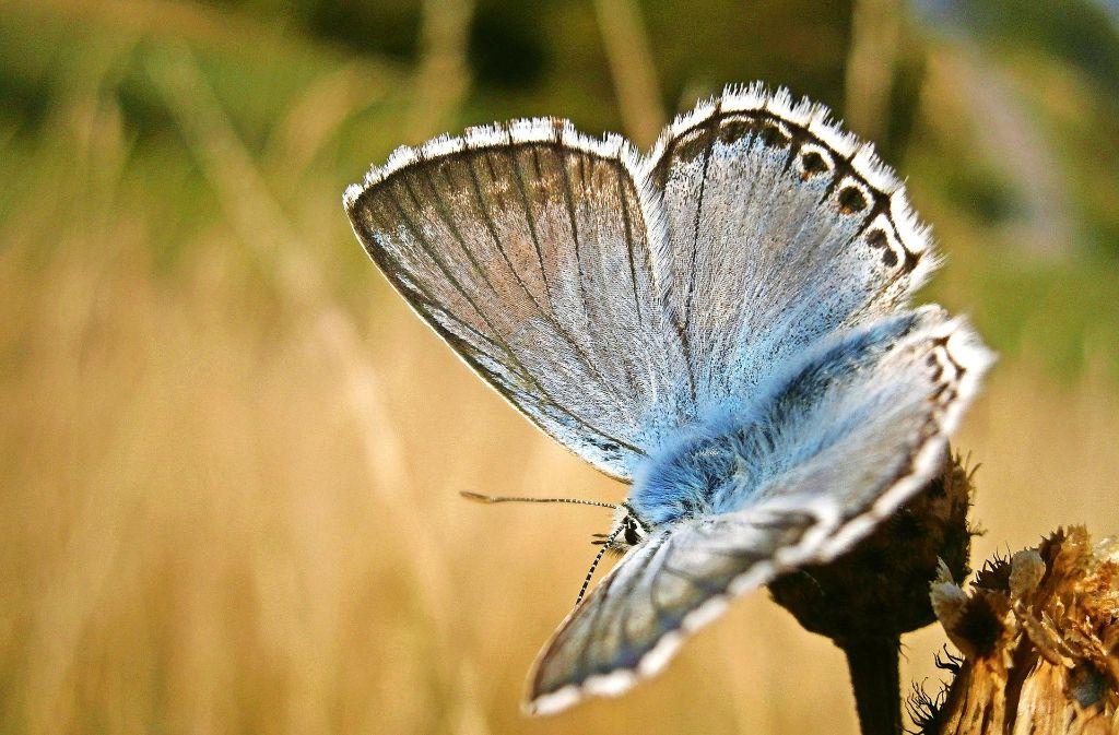 Heimischer Schmetterling: ein Silbergrüner Bläuling Foto: dpa