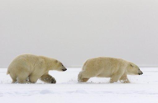 Wilde Tänze vor Eisbären