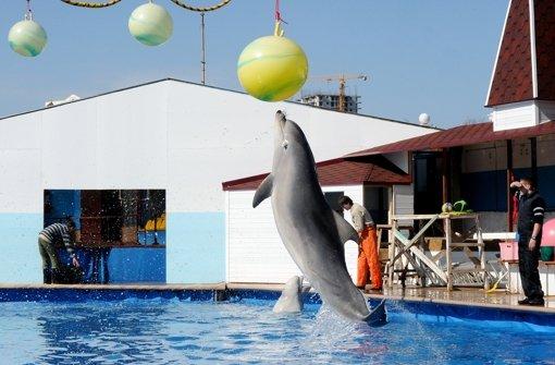 Russen wollen Kampfdelfine ausbilden