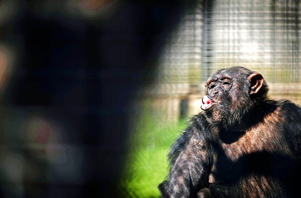 Die Schimpansin Sina ist jetzt im Ruhestand – und für den Schwaben-Park beginnt ein neuer Abschnitt. Foto: Gottfried Stoppel