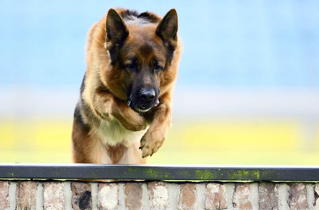 Ein Schäferhund hat in Geislingen mehrere Personen gebissen – die Polizei sucht nun das Tier. (Symbolbild) Foto: dpa