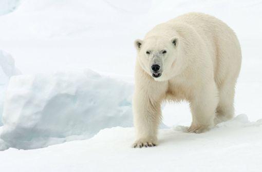 Eisbär tötet auf Zeltplatz Mann