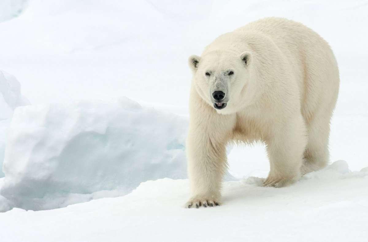 Ein Eisbär hat auf Spitzbergen einen Mann getötet (Symbolbild). Foto: imago images/blickwinkel/AGAMI/R. de Haas