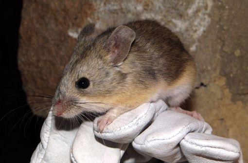 Eine Maus als  Himmelsstürmer