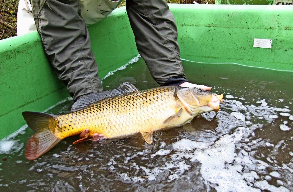 Zweieinhalb Tonnen Fisch und 1000 Teichmuscheln müssen umziehen. Foto: Claudia Barner