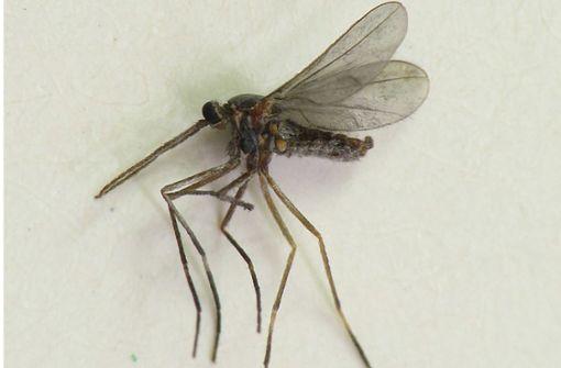 Mückenlarven  können große Sprünge machen