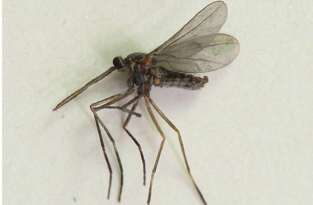 Eine ausgewachsenes Exemplar der Gattung Asphondylia, die zu den Gallmücken zählt. Ihr Larven können das 36-Fache ihrer Körperlänge weit springen. Foto: Wikipedia commons/Beatriz Moisset