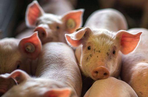 Glückliche Schweine – strenger Geruch