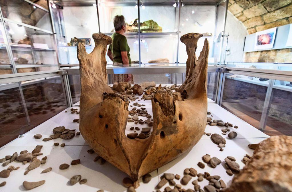 Der Unterkiefer eines Mammuts im Museum im Hirsch. Foto: Frank Eppler