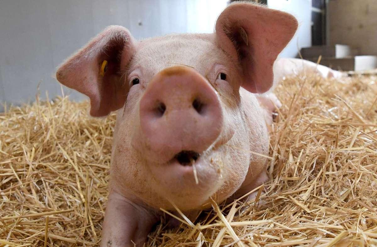 Stuttgarter Forscher wollen herausfinden, welche Haltungsbedingungen Schweinen gut tun. (Symbolbild) Foto: dpa/Marijan Murat
