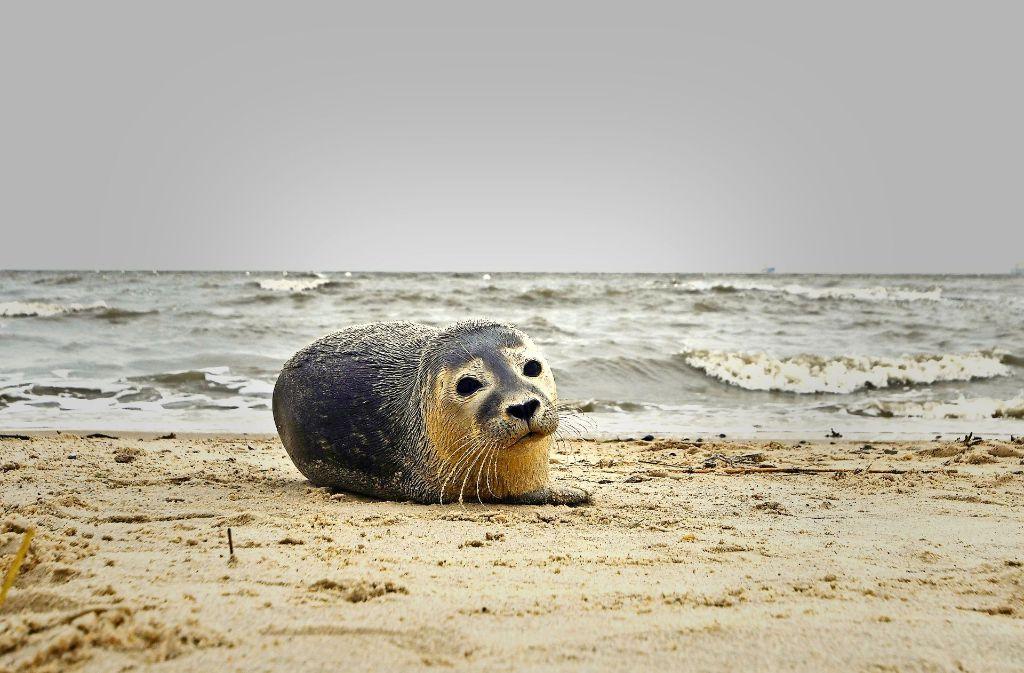 Tierschützer retten immer mehr kleinen Seehunden das Leben. Foto: dpa