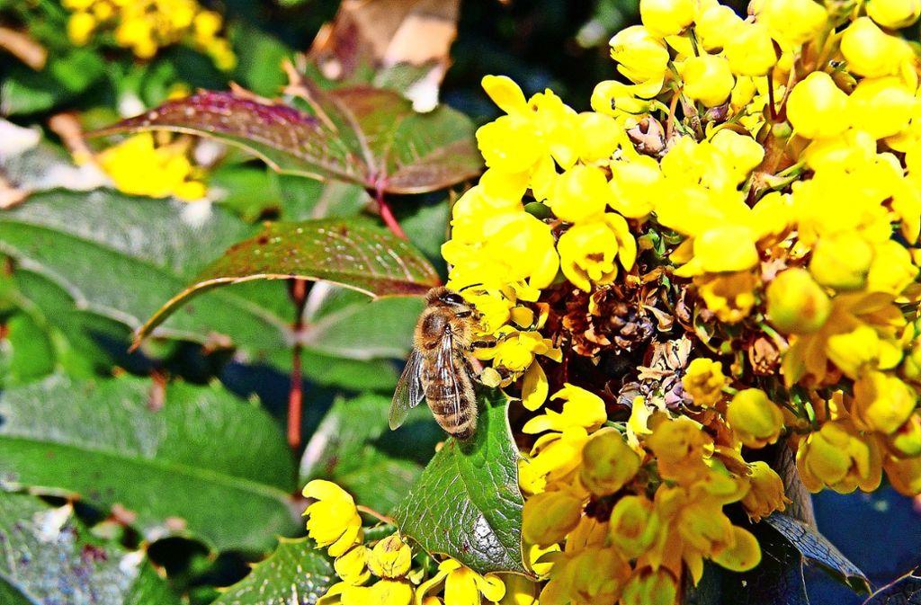 Eine Honigbiene sammelt Nektar von einer  Mahonie. Foto: Michael Käfer