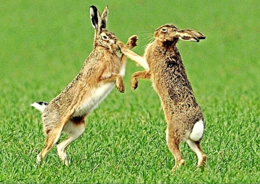 Bei der Hasenhochzeit geht es gar nicht romantisch zu. Foto: dpa