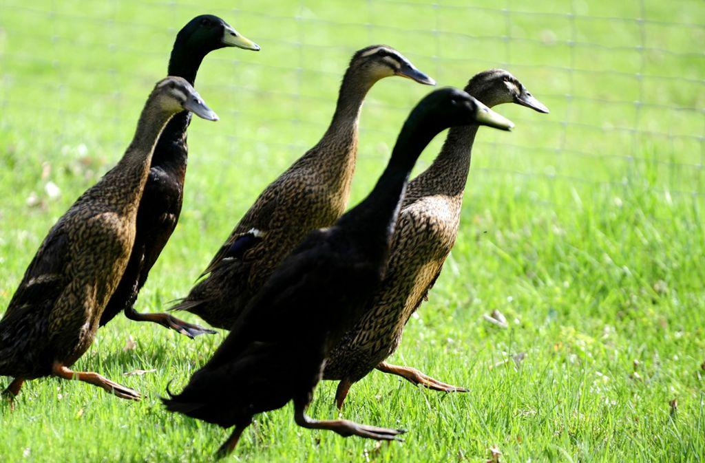 Mehrere Enten überquerten die Straße (Symbolbild). Foto: dapd