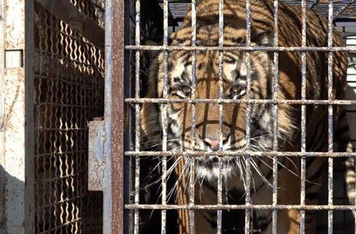 Völlig ausgehungerte Tiger in Tiertransporter entdeckt