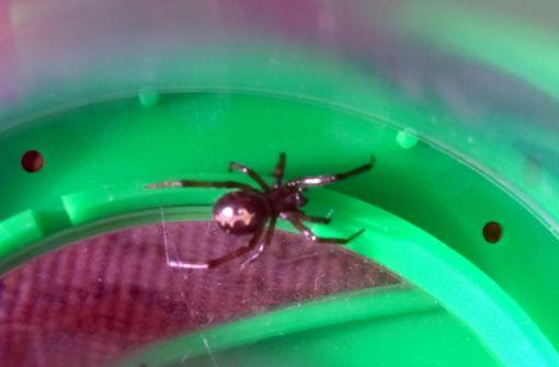 Gift-Spinne entpuppt sich als harmlos