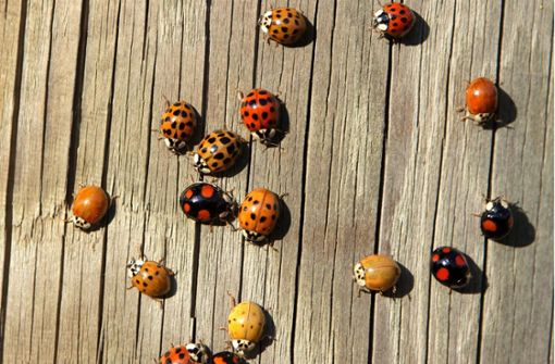 Marienkäfer sind im Herbst in Schwärmen unterwegs