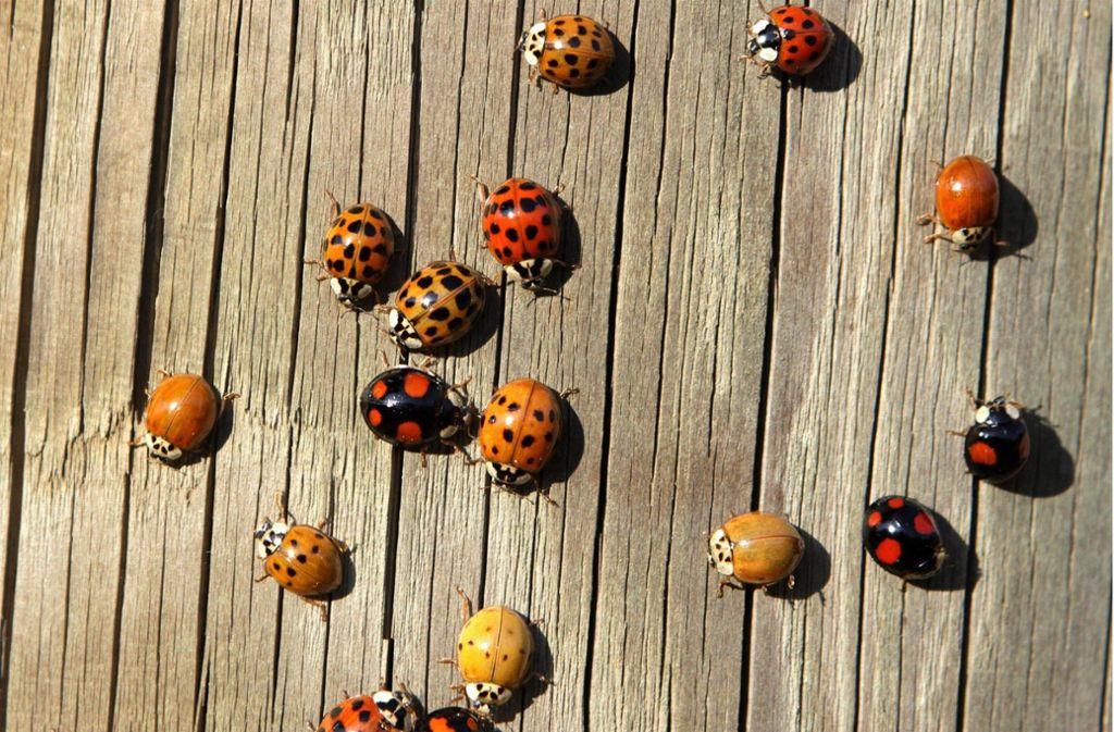 Marienkäfer sind bei den meisten Menschen beliebt – auch weil es sie nicht in die Häuser zieht. Foto: MTI/EPA
