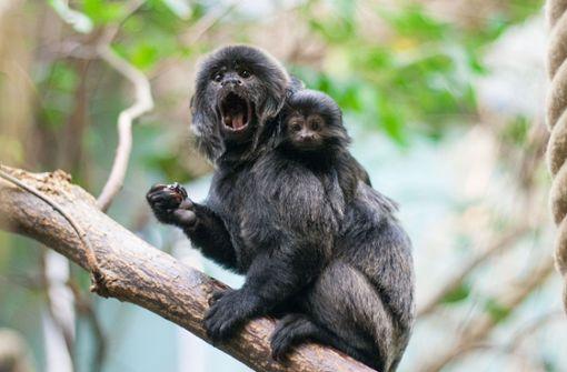 Baby-Boom bei den Mini-Affen