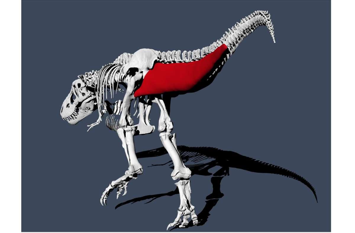 Das Bild zeigt eine Schwanzmuskelrekonstruktion des Tyrannosaurus Rex. Der Tyrannosaurus Rex war ein furchterregender Jäger, aber beim Gehen war der Dinosaurier wohl eher gemächlich unterwegs. Foto: Pasha van Bijlert/dpa