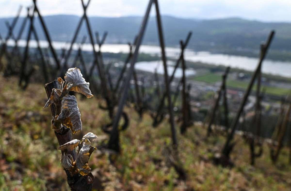 So sehen frostgeschädigte Weinreben aus – ein Bild aus dem Südosten Frankreichs, der ebenfalls betroffen ist. Foto: AFP/PHILIPPE DESMAZES
