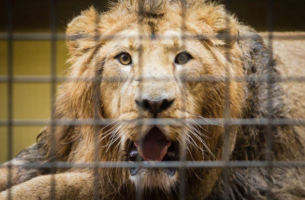 """Der Asiatische Löwe """"Shapur"""" liegt in der Wilhelma in Stuttgart nach seiner Reise aus dem Zoo in Mühlhausen (Frankreich) in seinem neuen Gehege. Foto: dpa"""