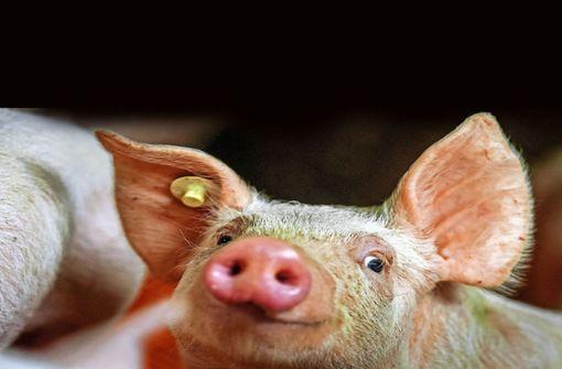 Schweinemäster und Veterinär im Visier der Justiz