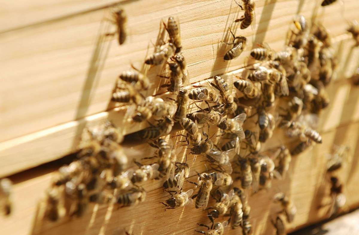 Elf Bienenvölker sind bei Steinheim an der Murr gestohlen worden (Symbolbild). Foto: imago images/blickwinkel/McPHOTO/B. Leitner