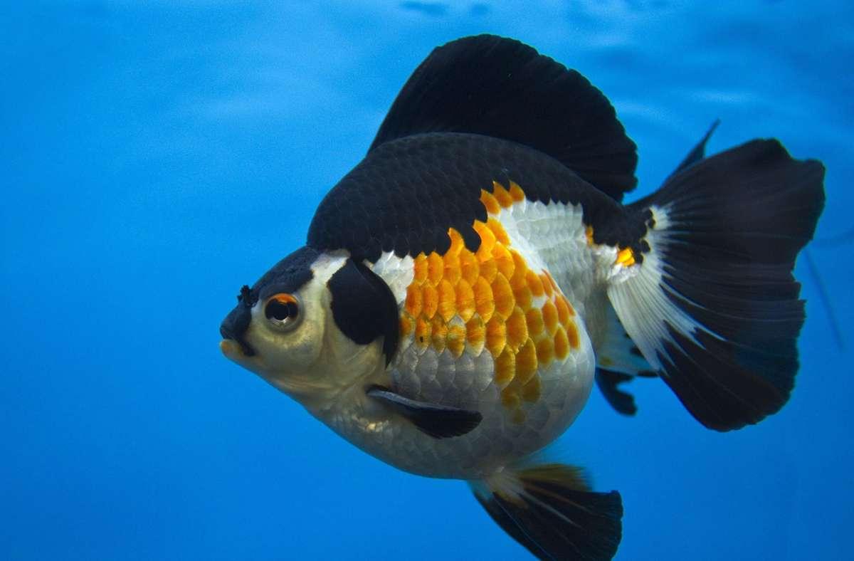 Unbekannte hatten es in Bräunlingen auf Goldfische abgesehen. Foto: picture alliance / dpa/Ahmad Yusni