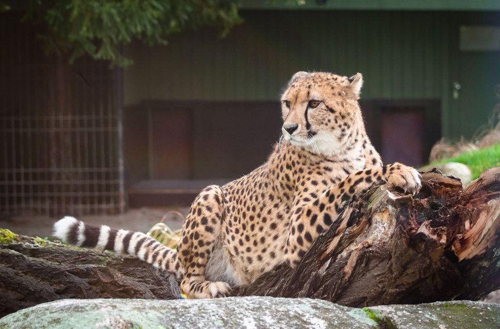 Von den in der Wilhelma in Stuttgart neu angekommenen Geparden-Brüdern zeigte sich Zawadi beim ersten Spaziergang extrovertierter. Foto: Wilhelma Stuttgart / Harald Knitter