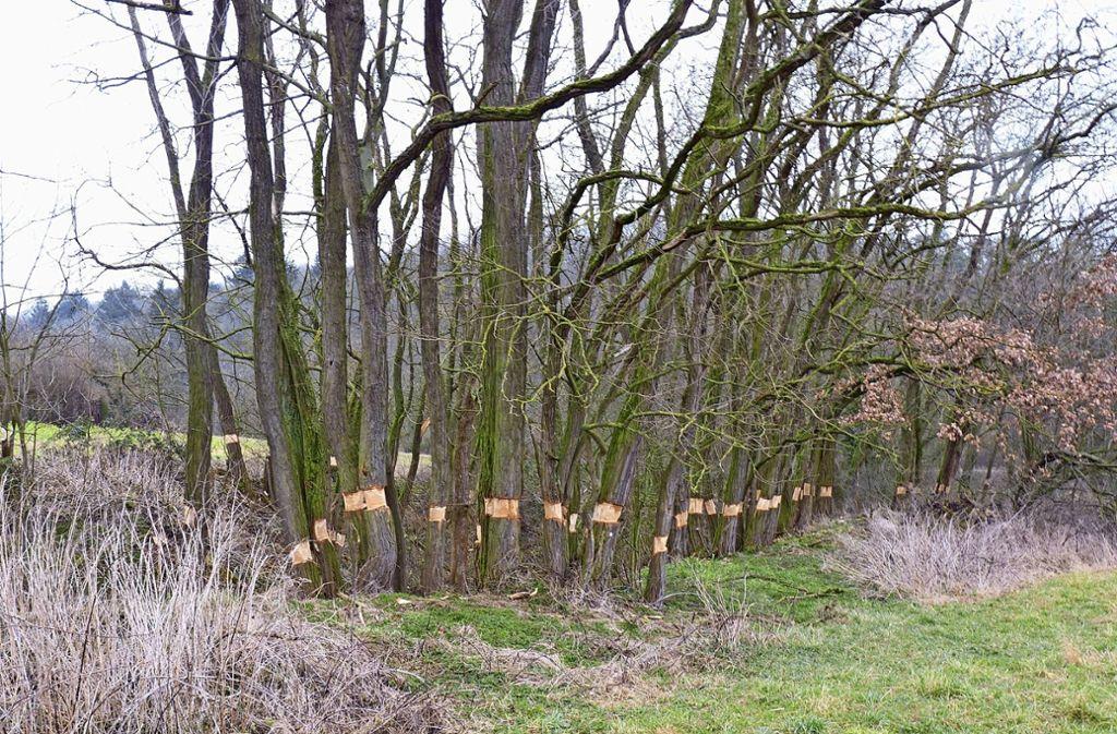 Diese Robinien in der Mäurachklinge im Feuerbachtal wurden am Stamm beschnitten. Foto: Gesierich (z)