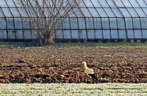 Storch ist rund um Gärtnerei unterwegs