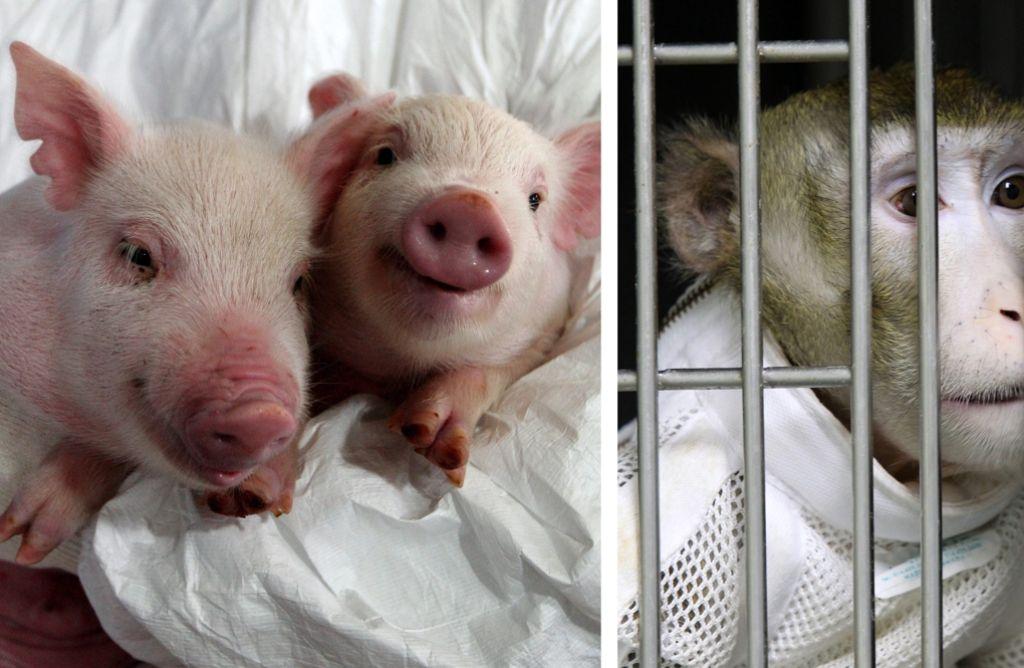 Wissenschaftler untersuchen die Möglichkeit, Organe über Artgrenzen hinweg zu transplantieren – etwa zwischen Schwein und Pavian. Foto: YONHAP