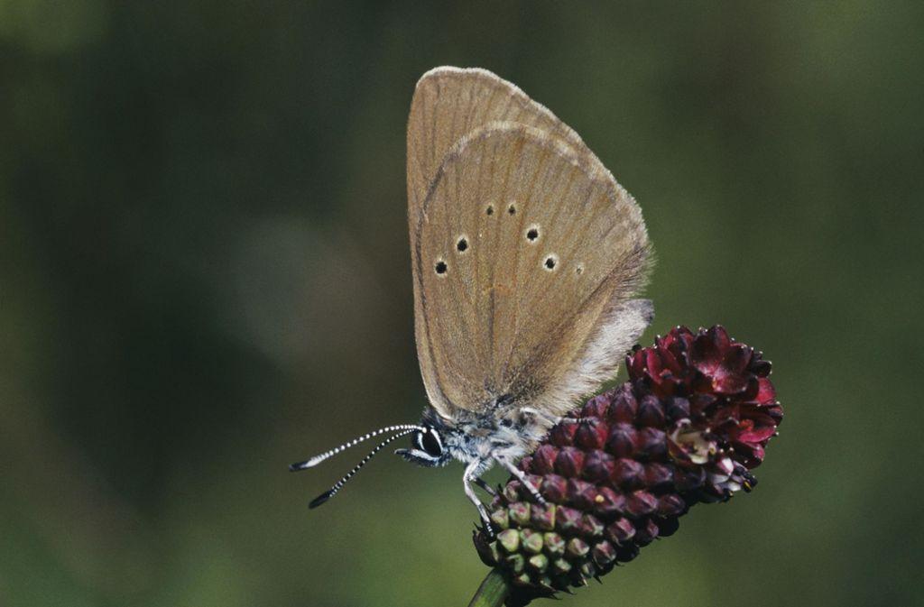 Von der Ausdünnung der Böschungen an der Gäubahn soll unter anderem der Dunkle Wiesenknopf-Ameisenbläuling profitieren. Foto: www.mauritius-images.com